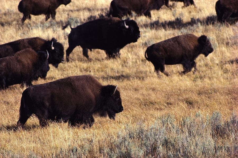 Bison Herd on Yellowstone Grasslands